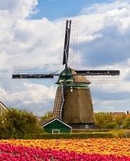 Dutch windmill in a field of tulips